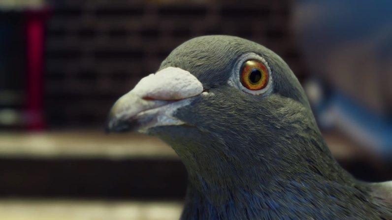 sc-virgin-money-pigeon-2